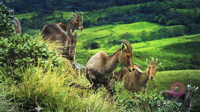 Nilgiri Tahr - Eravikulam National Park Munnar