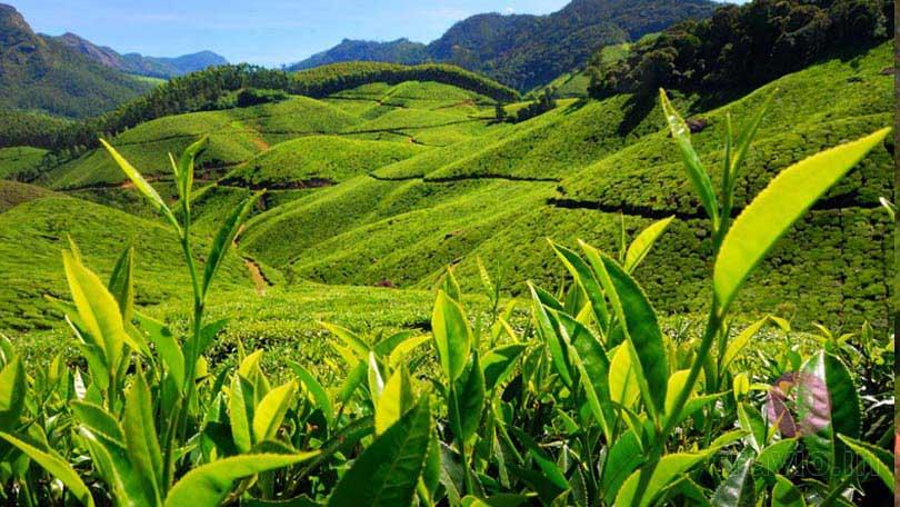 Lovely tea gardens in Munnar